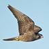 """Juvenile """"Pacific"""" Peregrine Falcon. Note: dark brown overall."""